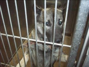 Bandit is an #adoptable #Keeshond #Dog in #OsageBeach, #MISSOURI. I was surrendered along with my 'wife' and 5 babies as my owners were moving and couldn't take me. No information was given on me but it is thou...