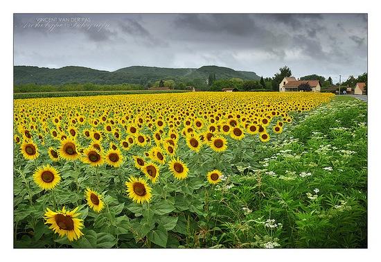 Sunflowers Missing the Sun at Beynac by Vincent van der Pas, via Flickr