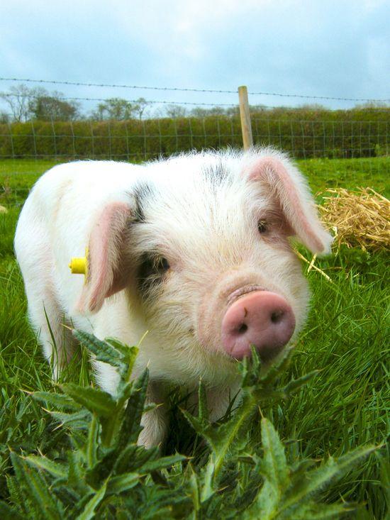This Little Piggie!
