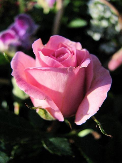 Pretty Pink Miniature Rose