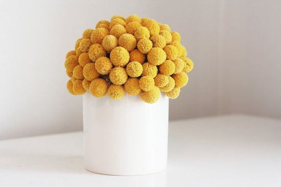 craspedia cluster in white dried flower by floresdelsol on Etsy, $55.00