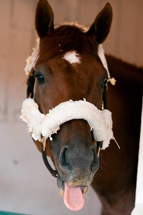 I'll Have Another, winner of both the 2012 Kentucky Derby & 2012 Preakness, shows a little sass in the barn.