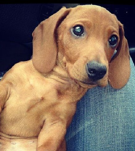 ? Wiener Dog