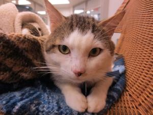Adoptable Fridays: Meet Casanova! Casanova is an adoptable Domestic Short Hair Cat in Oklahoma City, OK. Find out more about Casanova! #pets #cats #animals