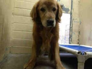 No longer available. A4540054 URGENT DOWNEY SHELTER is an adoptable Golden Retriever Dog in Downey, CA. **WE NEED VOLUNTEERS TO POST & REMOVE PETS ON PETFINDER. IF YOU CAN COMMIT TO THE CAUSE OF HELPING SAVE SHELTER ANIMA...