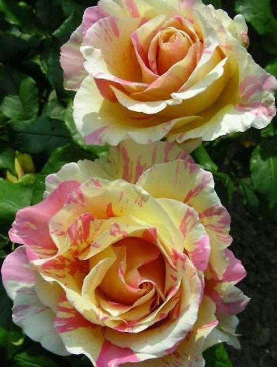 Claude Monet roses!! ?