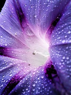 Dewdrops on morning glory, macro