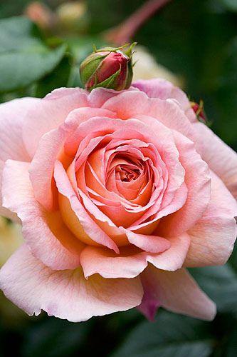 Gorgeous peach Rose