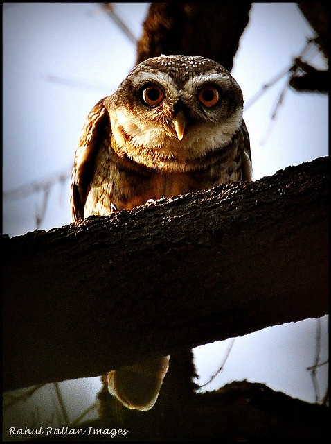 WHOOOO's That? A spotted owlet, that's who-who-who!
