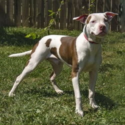 Jersey is an adoptable Pit Bull Terrier Dog in Versailles, KY. Ohhh, pit-lovers, you better look out for Jersey; he is just about the most handsome pitty gent we have ever met and he'll have you takin...