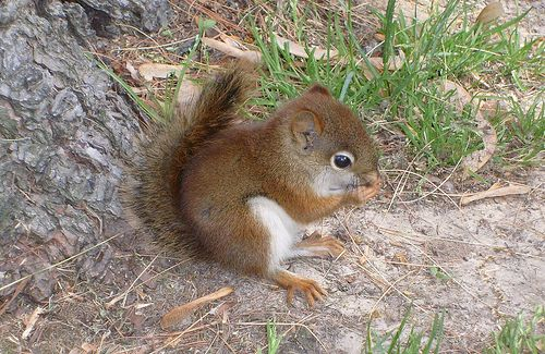 Red Squirrel Baby Animal by Dr.Slime, via Flickr