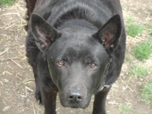 #OHIO ~ Molly is a #senior #adoptable Chow Chow Dog in #SaintClairsville - I'm a 12y/o Chow Black Labrador mix. I'm at the shelter because my former owner died. I'm a old sweet soul looking for love. Might you have a soft spot in your heart & home for me to spend my retirement years in? #Adopt me at the BELMONT COUNTY ANIMAL SHELTER    45244 National Rd W.   #StClairsville OH 43950   Ph 740-695-4708