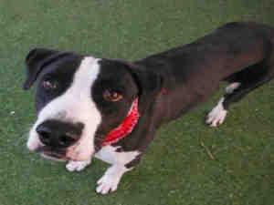 BOGIE is an adoptable Pit Bull Terrier Dog in Mesa, AZ.  ...