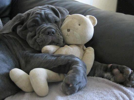 Neapolitan mastiff with teddy bear