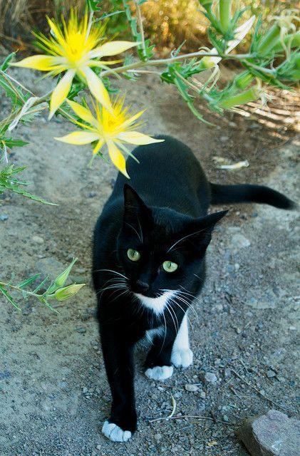 A beautiful tuxedo cat