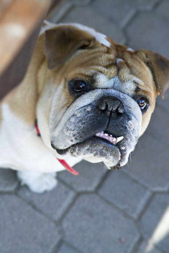 Someone buy me a English Bulldog? #dog #great #dane #animal