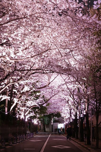 Cherry blossom tunnel in Roppongi, Tokyo, Japan