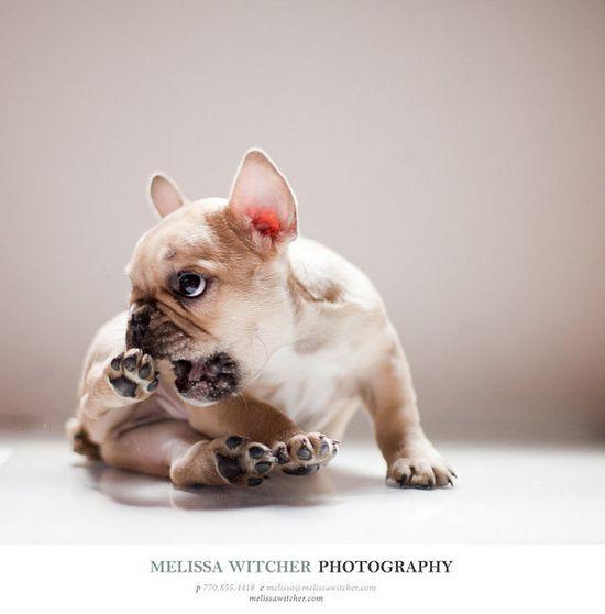 french bulldogs ?