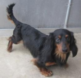 Nate is an #adoptable Dachshund Dog in #Oakland, #NEWJERSEY. If you are interested in adopting this wonderful pet, please take a moment to complete our  Online Adoption Application. Please review the pet notes ...