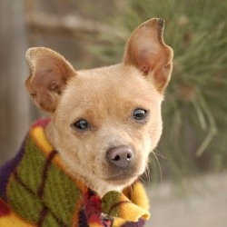 Prancer is an adoptable Chihuahua Dog in Evans, CO. All adoptions include: Spay/neuter If the animal is not yet spayed or neutered: Every animal will be spayed or neutered prior to going home with ado...