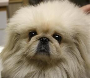 Teddy is an adoptable #Pekingese Dog in #Greensboro, #NC. Teddy is a 3 year old handsome 12 pound white Pekingese with a beautiful coat. He gets along well with other dogs and cats and is very loving. Te...