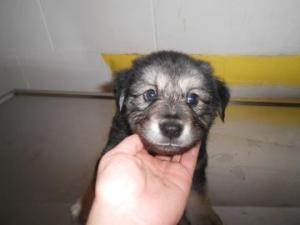 HUGO is an adoptable Shepherd Dog in Thomasville, GA.  ...