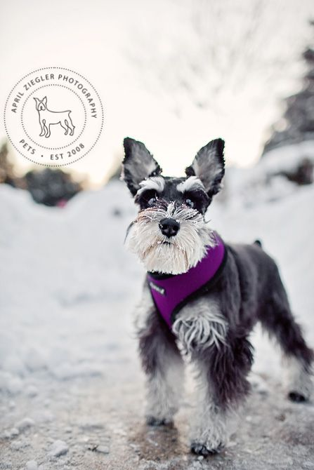 Lucy by April Ziegler #Miniature #Schnauzer