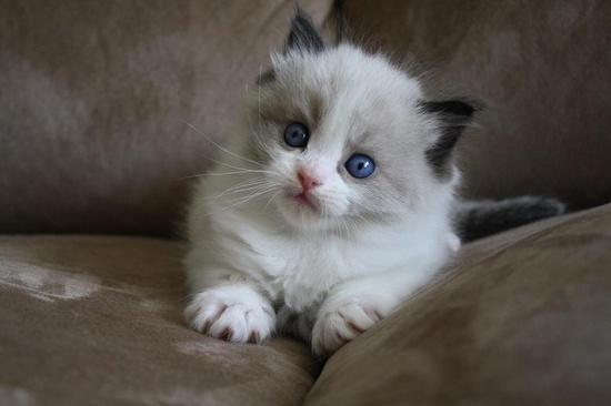 Ragdoll Kitten | Cattery Elroni's Dream | The Netherlands