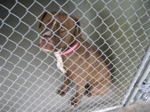 FLORIDA ~ meet ID 1016500 an #adoptable Terrier in Brooksville. Dog #adoptions R 25 plus a 25 refundable sterilization deposit. PetLuv Spay & Neuter Clinic, offers the following & are  incl in the #adoption fee- spay/neuter, 1-yr rabies vacc, 4-in-1 vaccine, & gen'l deworming with Strongid-T. If you reside in Hernando Cnty, you'll also receive a free 1yr Hernando Cnty License. 19450 Oliver Street, Brooksville, FL 34601  P 352 796-5062  EMAIL: mailto:ac@co.hern... - 12.17