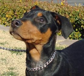 Charlie is an #adoptable #DobermanPinscher #Dog in #LasVegas, #NEVADA. Charlie is a 4-month-old black and tan Doberman. He is all-natural and definitely all puppy! He was surrendered because he was too much ...