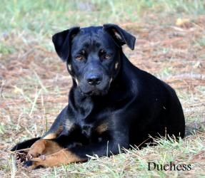 Adopted! Duchess is an adoptable Shepherd Dog in Camp Hill, AL. Duchess is a beautiful black and tan shepherd mix who would make a great addition to a loving home. Approx 10 months old, 45lbs, spayed and curr...
