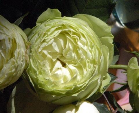 Lime Piano garden rose