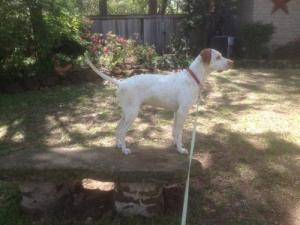 #TEXAS ~ meet Gunter ~ an #adoptable #Pointer #Dog in #Denton. He's 100% Pointer & was a comedian in a former life! Life with him is fun & he's an awesome dog. He's good with dogs loves to play is a great hang out dog & would make a great running partner. He loves water & is crate trained. He comes with a promise to keep all squirrels in your yard treed but will snuggle up with you when its nap time. Help us retrieve him a Friend! Info on #adopting: retrieveafriend.o...