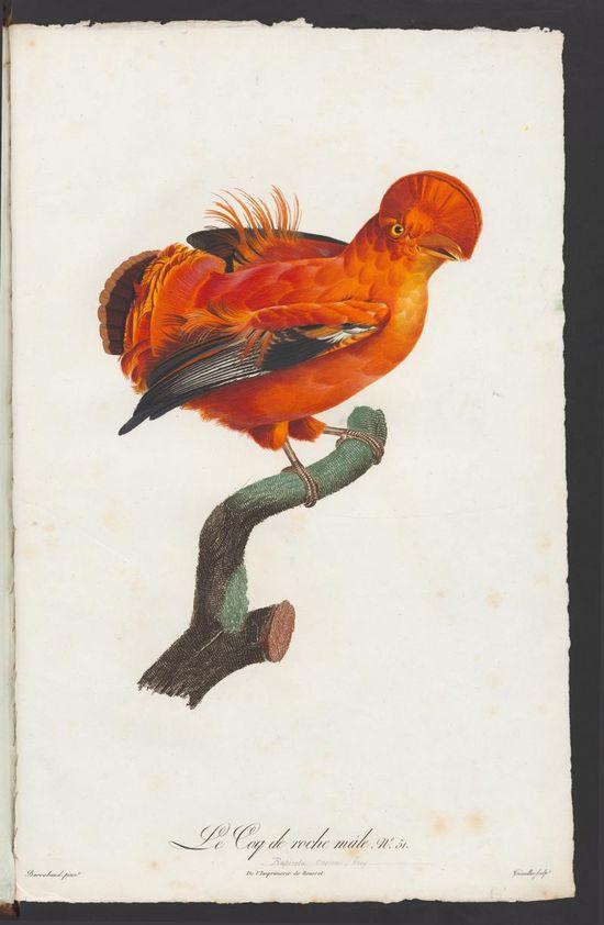 Cock of the Rock, illus. Jacques Barraband, from Histoire naturelle des Oiseaux de paradis et des Rolliers, suivie de celle des Toucans et des Barbus / par François Levaillant, Paris 1806