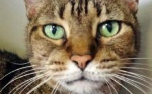 Snickers is an adoptable Domestic Short Hair Cat in Phoenix, AZ. Declawed mellow girl I am a declawed mellow older gal looking for love and a calm, gentle place to call home. For more information, ple...