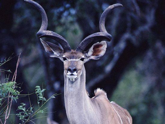 animals beautiful wild gazelle picture    wallpapersonview.com