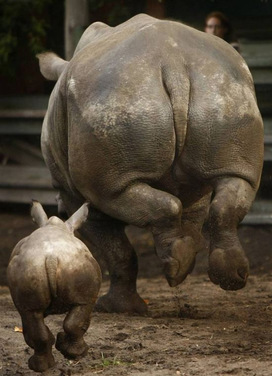 Rino behinds!  Let's make sure we save them !!!, so we can enjoy more of this sight:)