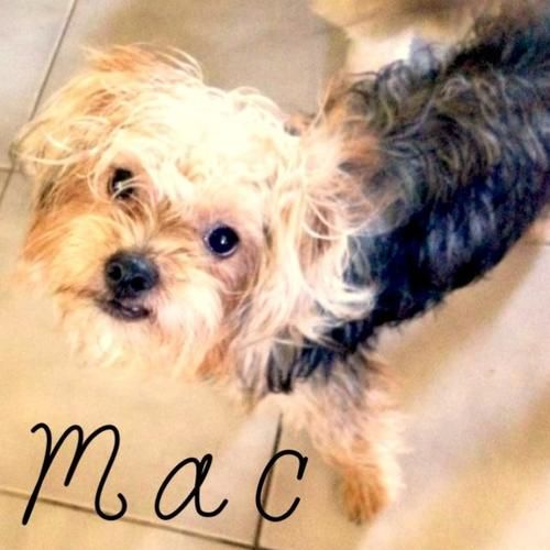 Mac is an adoptable Shih Tzu, Yorkshire Terrier Yorkie Dog in Staten Island, NY
