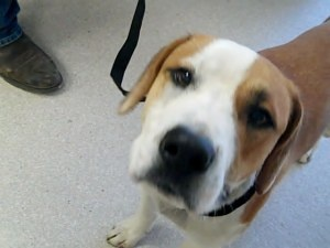 #MISSISSIPPI ~ ID 8600 Ballou is a friendly 10-12mo old Harrier  Beagle mix dog in #HornLake in need of a loving #adopter or #rescue - this shelter kills for space & the longest term residents are at greatest risk - he's been at the shelter  3/21/13 - HORN LAKE ANIMAL SHELTER   6410 E. Center St.      #HornLake MS 38637 mailto:hlshelter@...    Ph 662-393-5857