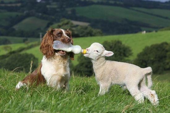 The 21 Most Touching Interspecies Friendships You Never Thought Possible -  Jess the spaniel acts as a surrogate mother to several orphaned lambs, and feeding them out of a bottle is no gimmick. Her owner says all she did was teach Jess to hold the bottle and then the pup took over feeding duties, galloping to hungry lambs around the 180-acre farm.