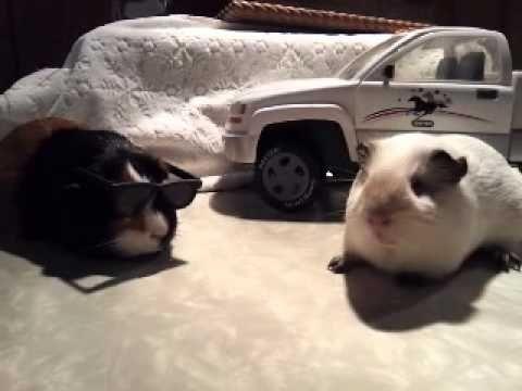 Guinea Pigs Gone Gangnam Style