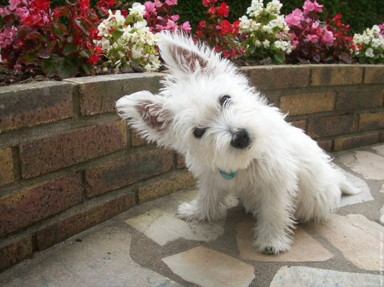 Westie! ? I want one of these so bad!!