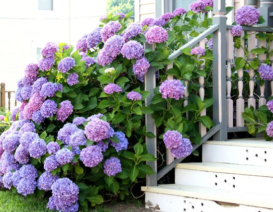oh to have hydrangeas like this...