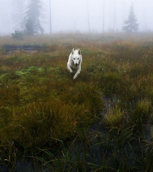 Liberté! A white German shepherd (I think. Pretty sure it's not a wolf?) in the foggy moor.