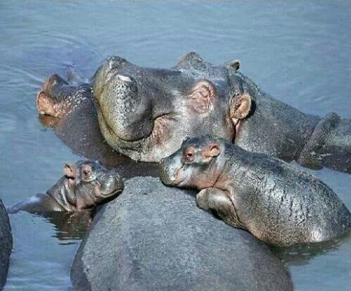 Hippo family cute babies