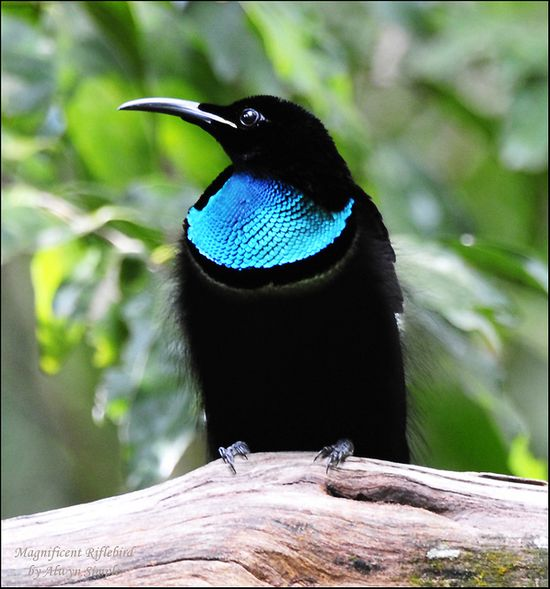 Magnificent Riflebird. This species is widely distributed throughout lowland rainforests of New Guinea and far northeastern Australia. The diet consists of fruits and arthropods.
