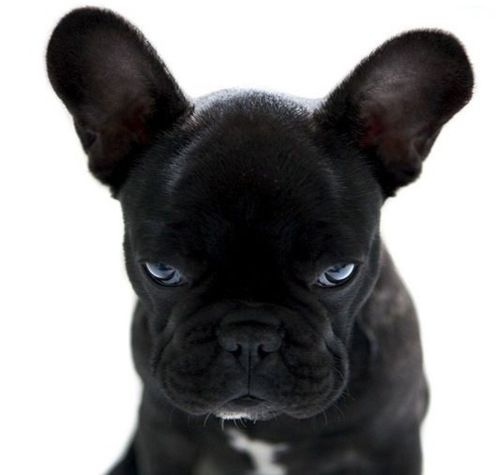 oh Frenchie!