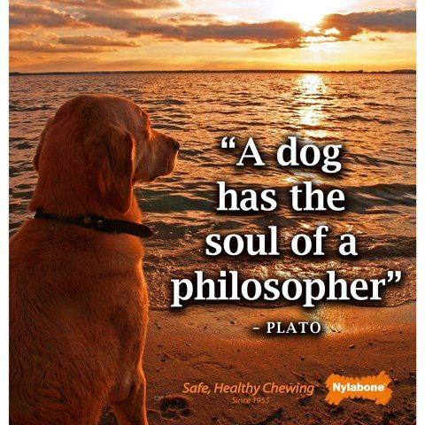 """""""A dog has the soul of a philosopher""""  ~Plato  Courtesy of www.nylabone.com #dogs #pets #quotes"""