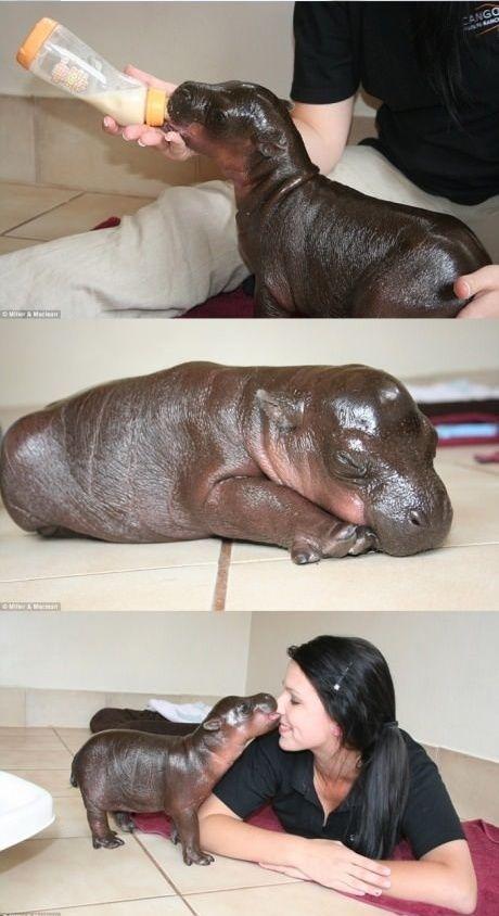Cute Pet Hippo