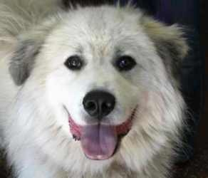 Rocky is an adoptable Great Pyrenees Dog in Bowling Green, KY. The Great Pyrenees Dog is a working breed that has been around for thousands of years. They are frequently used on farms as Livestock Gua...